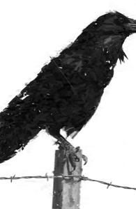 Raven Hero Shot