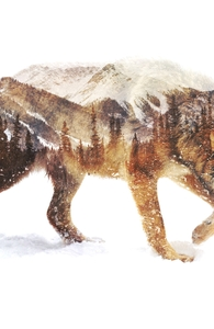 Wolf In The Arctic Hero Shot